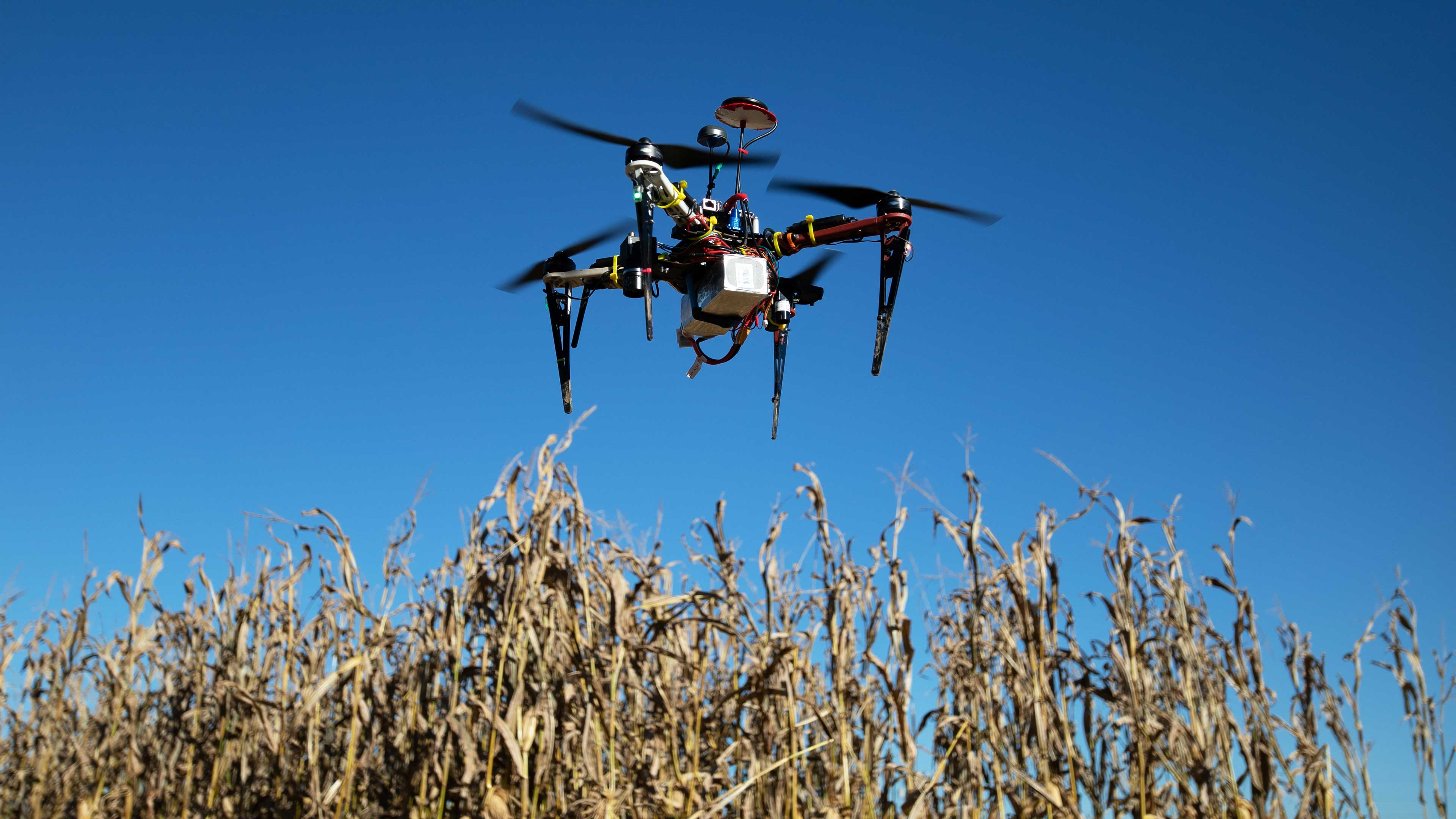 A drone hovers in the air above tall corn stalks.